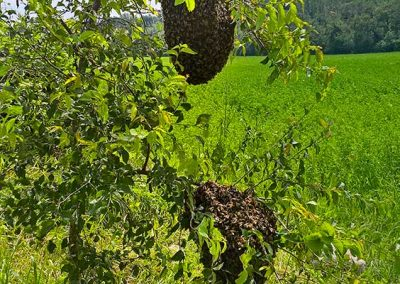 Recupero di favi di api in natura
