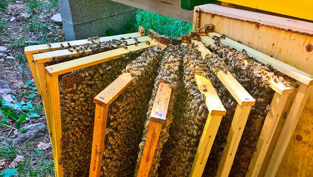 Le api sui telai per la produzione di miele biologico